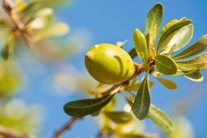 Argan fruit. Photo: Dreamstime