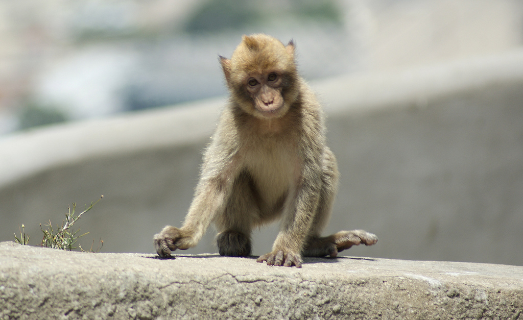 A Barbary macaque. Photo by mouseshadows on Flickr.