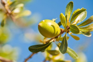 Argan fruit. Photo: Dreamstime